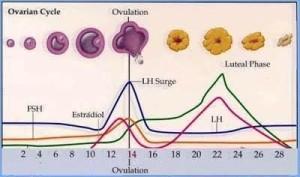 ovulacny cyklus
